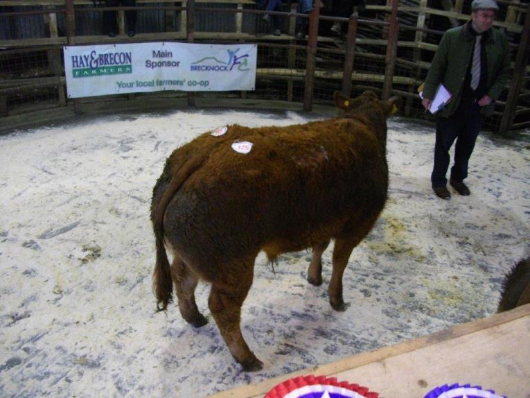 Champ and Best Steer Lot 125