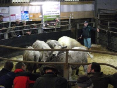 Lot 146 - Hodnett & Son, Brookhouse - 6 char heifers - 358kg - £750 2